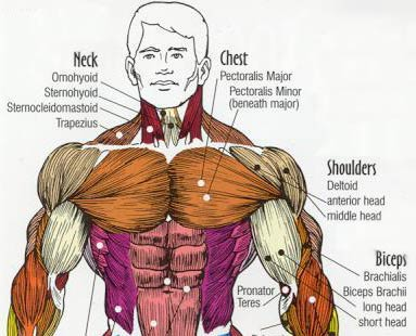 chest picture - chest anatomy - pecs picture